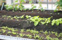 Tưới nhỏ giọt cho rau giúp rau xanh tươi mỗi ngày